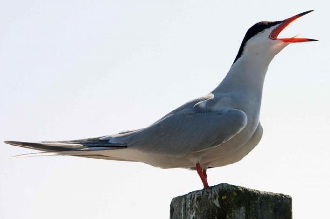 sterna-hirundo-tern-bird-sing-725x483